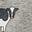 Grey Marl Cows