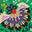 Schottengrün, Üppige Blüten