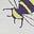 Ivory Bugs
